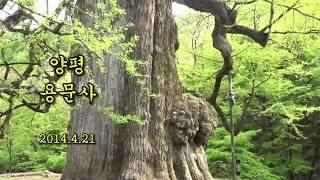 [여행] 경기도 양평 용문사 & 거대한 은행나무