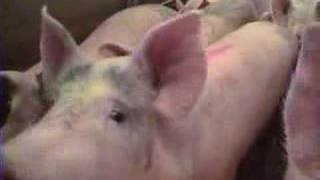 Pig slaughter 15