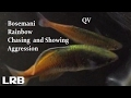QV Bosemani Rainbowfish on the Chase and Showing Aggression