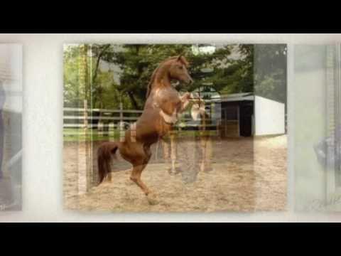 Arabian Stallion @ Stud - Camp Point, IL