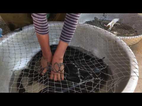 Buying Snake-head Fish