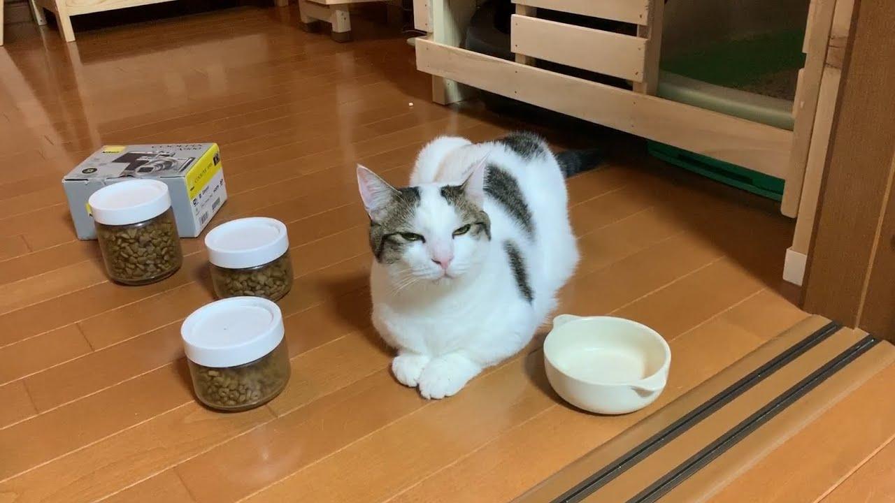 ジェスチャーで「ごはんくれ」を伝える猫 【今日のひのき猫】