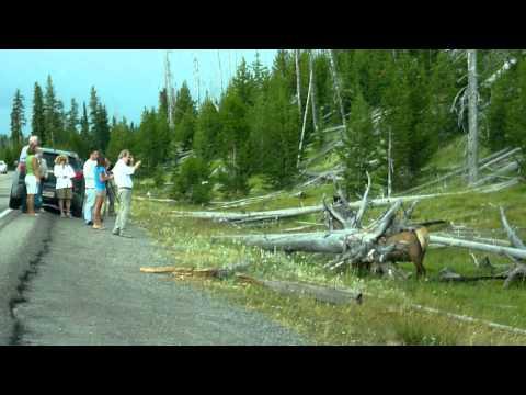 Yellowstone Elk 8.6.10