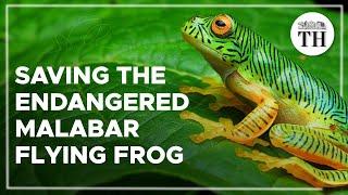 Saving the critically endangered false Malabar flying frog