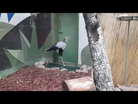 Secretary bird and New Guinea coucal in one enclosure