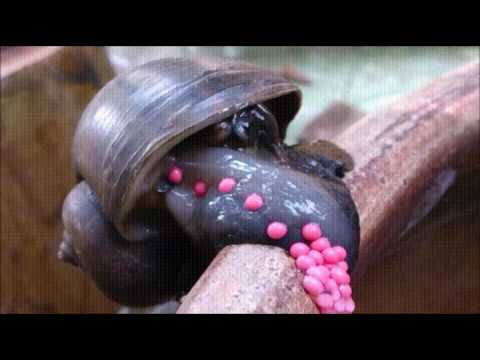 Corey Klug - In Case You Wondered How Snails Lay Eggs