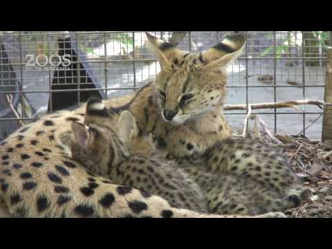 Our 3 Little Serval Kittens
