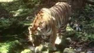 Амурский тигр(Амурский тигр (Panthera tigris altaica) — подвид тигра, хищного млекопитающего из семейства кошачьих. Длина тела от..., 2009-12-02T21:33:31.000Z)