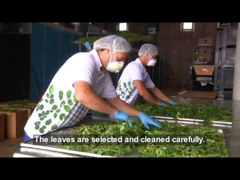 Moringa oleifera from the MoringaGarten Tenerife - Infofilm English