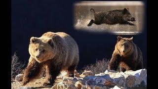 Медведи учуяли кабана | Film Studio Aves