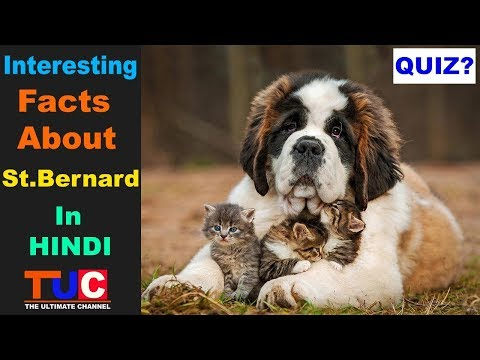Interesting Saint Bernard Facts You Should Know : TUC : The Ultimate Channel