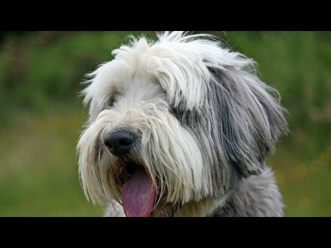 Amazing Facts on Bearded Collie | In Hindi | Dog facts | Animal Channel Hindi
