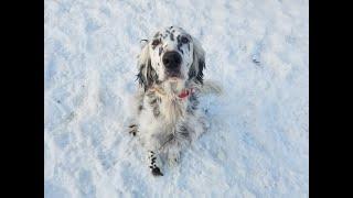 Murphy  3 Year Old English Setter  Dog Training Omaha Nebraska, Off Leash Dog Training