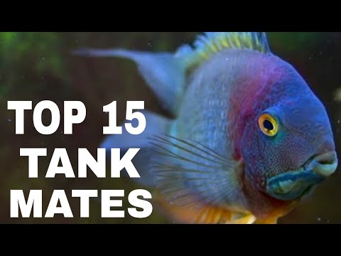Most Suitable Tank Mates For Severum Cichlid