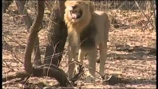 Gir National Park India   Discovery Channel   Gir   Realm of Asiatic Lion   Part II