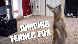 Scout the fennec fox jumping for Mealworms