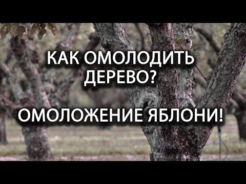 Как омолодить плодовое дерево? Омоложение яблони!