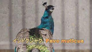 インドクジャク(印度孔雀、Pavo cristatus)