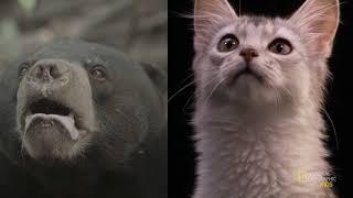 Удивительные животные: Бинтуронг (Кошачий медведь)