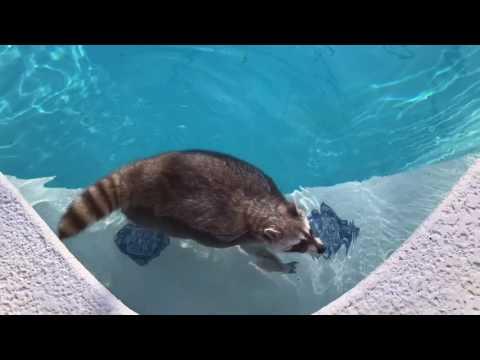 Raccoon imitates a pool float