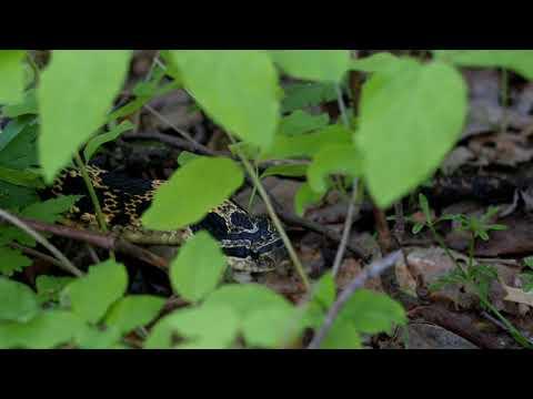 Ontario snakes: Eastern hog-nosed snake