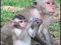 when cute girl and monkeys meeting  - Monkeys eating coconut - Baby monkey is crying