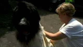 Dogs 101: Newfoundland