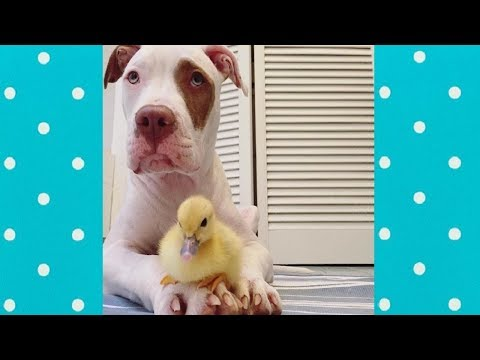 Love story of Duck and Dog || Funny Everyday Compilation