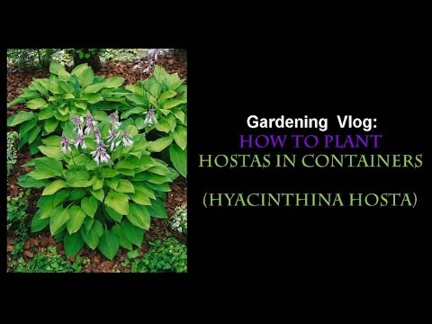 How To Plant Hostas In Containers Hyacinthina Gardening Vlog Youtube