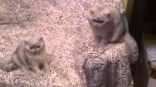 Экзотические короткошерстные котята окраса гол