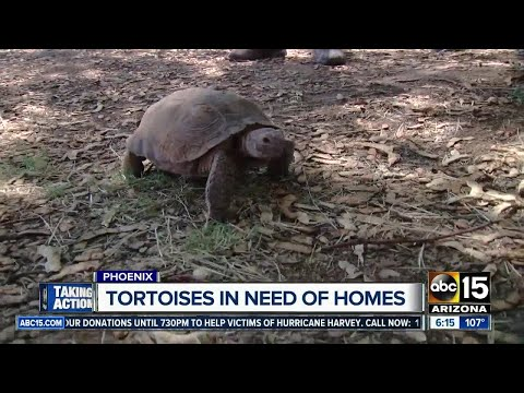 Looking To Adopt A Desert Tortoise? 75 Up For Adoption!