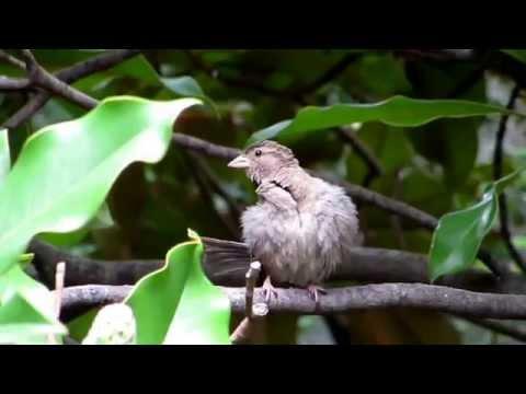 House Sparrow (Females) - Passer Domesticus / Birds Domestic Sparrow | Birds and Animals