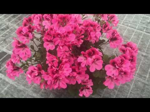 Regalia Pink - Pelargonium