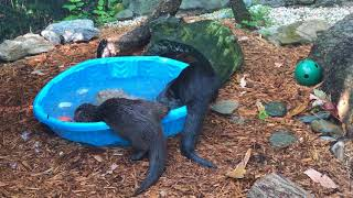 Otter Pool Party - 4th of July at the Cincinnati Zoo