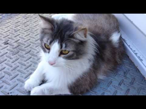 Norwegian Forest Cat - In The Back Of The Truck *720HD*