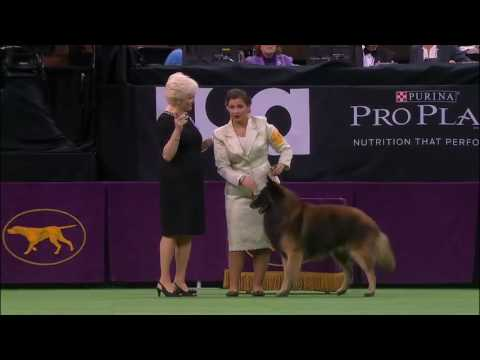 Westminster Kennel Club Dog Show 2016   Best of Herding Grou