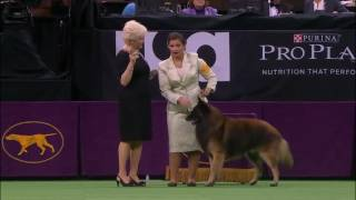 westminster kennel club dog show 2016 best of herding group youtube 480p