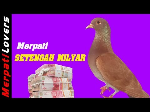 7 Merpati Termahal Di Indonesia |  Most Expensive Pigeon In Indonesia