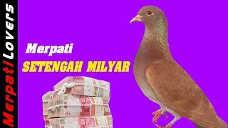 7 Merpati Termahal Di Indonesia    Most Expensive Pigeon In Indonesia