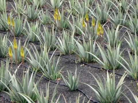 Jak se p stuje aloe vera barbadensis youtube for Aloe barbadensis