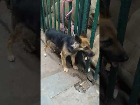 8650006680 Dog German shepherd Adult Female Deliver Lucknow to Gonda Uttar Pradesh in Rohit Pet Care