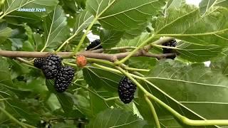 Шелковица или тутовник плоды ценность заморозка