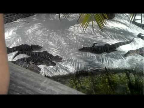 Congo River Golf Alligator Expedition - Port Richey, Florida