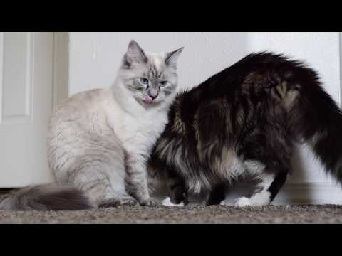 Ragdoll & Maine Coon Playing (9 Months)