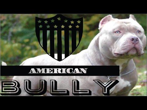 American Bully raza, características, cuidados y ejemplares. cachorros adiestramiento perros