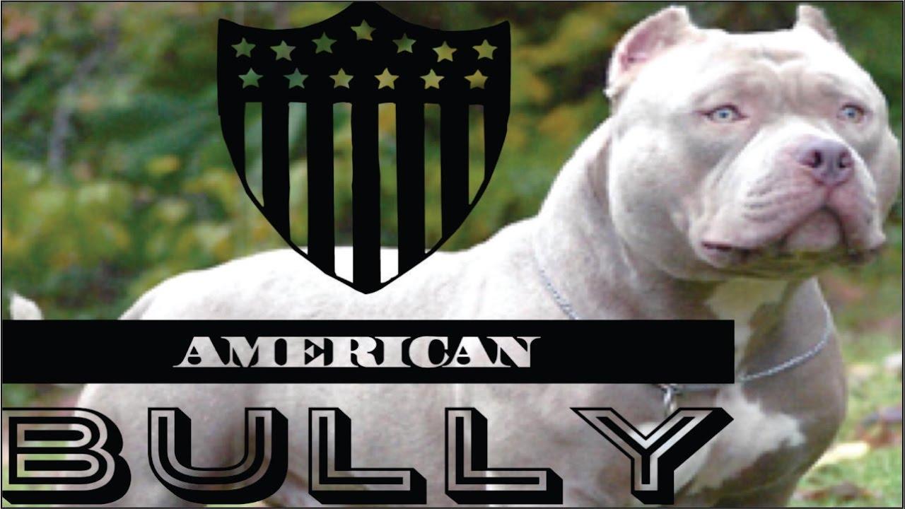 American Bully Raza Caracteristicas Cuidados Y Ejemplares