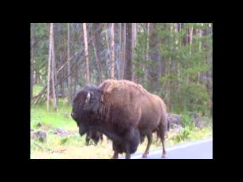 Yellowstone Bull Bison