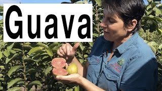 Taking Cuttings of Guava Fruit Trees to form roots - Hawaiian Guava Pink Supreme Plant thumbnail