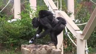 Download Video チンパンジー 双子の赤ちゃん182 Chimpanzee twin baby MP3 3GP MP4