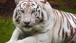 Eye of the Tiger - Great White w/lyrics